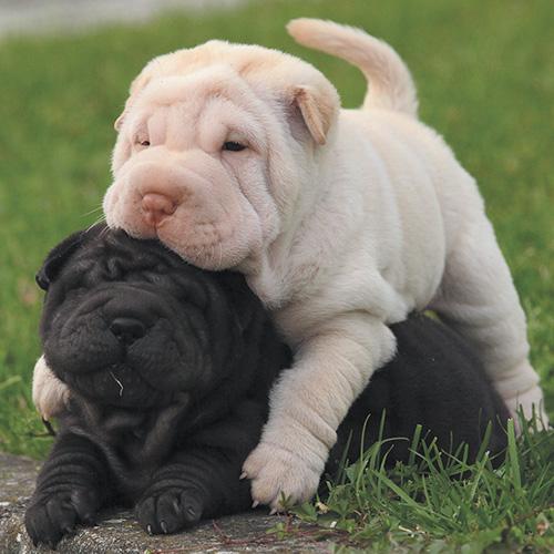 https://www.medicalriskfactorsofdogsandcatsbyrossdclarkdvm.com/wp-content/uploads/2019/03/Chinese-Shar-Pei-puppies.jpg