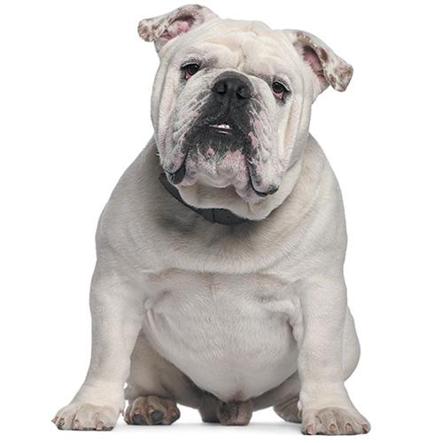 https://www.medicalriskfactorsofdogsandcatsbyrossdclarkdvm.com/wp-content/uploads/2019/03/white_bulldog.jpg